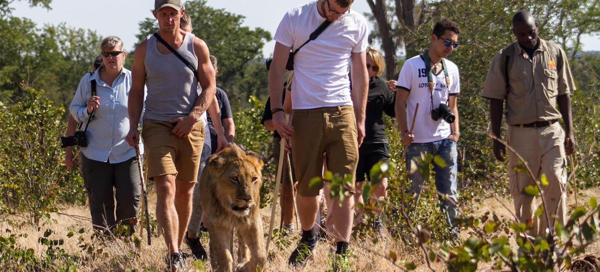 Lion Walks Victoria Falls