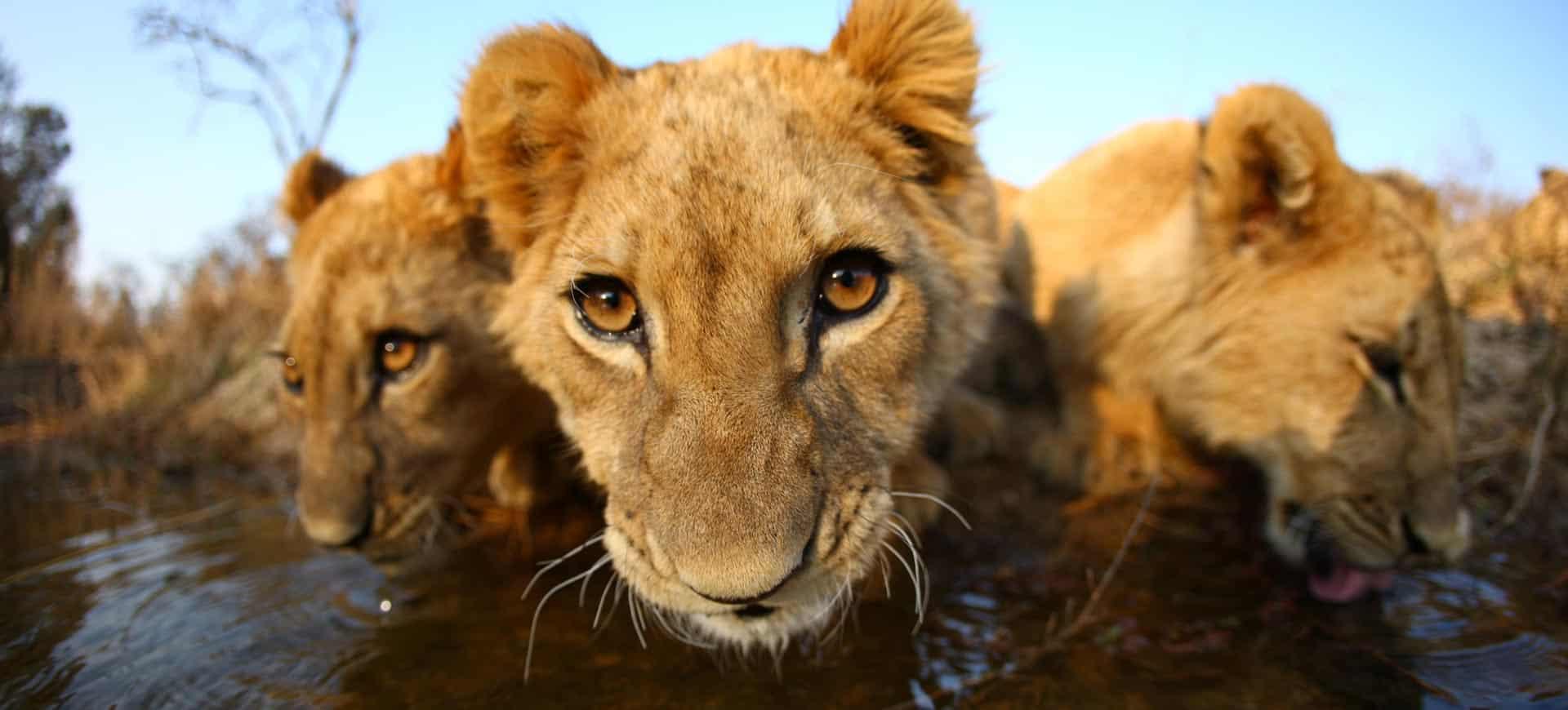 Victoria Falls Walk With Lions